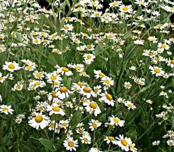 greenmansworld chrysanthemum balsamita marienblatt. Black Bedroom Furniture Sets. Home Design Ideas