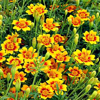 greenmansworld gew rztagetes tagetes tenuifolia. Black Bedroom Furniture Sets. Home Design Ideas